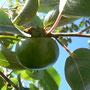 Fruto inmaduro, septiembre