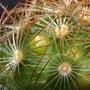 Primordios florales