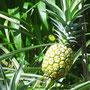 Ananas auf der Granja Mama Lulu