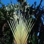 Palme im botanischen Garten