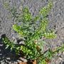 Auch die Stink-Kresse (Lepidium ruderale) wächst in Münster fast nur an Hauptstraßen; Bild: Charlotte Hurck