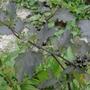 Der Drüsige Schwarze Nachtschatten (Solanum decipiens); Bild: Thomas Hövelmann