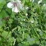 Das Schabenkraut (Verbascum blattaria) ist eine Königskerzen-Art; Bild: Thomas Hövelmann