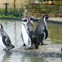 Pinguins die gaan zwemmen.
