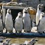Pinguins op rij aan de vijver