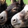 Ezels in Blanckendeall Park