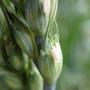 小麦 (開花) 5月20日