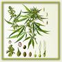 Hanf - Cannabis Basics (Grundlagen)