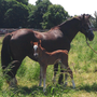 """Derwen Rhosfelen, stemming from the renowned """"R""""- line of the Derwen stud in Wales. Many successful show and sport Cobs go back to the """"R""""- female line at Derwen. 9 hours old Filly at foot. Rhosfelen is line bred to the beautiful Derwen Replica. (2018)"""