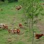 Die Apfelbäume bieten den Hühnern Schutz