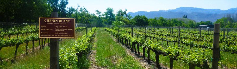 Wijnsoorten: 25 bekendste druivensoorten en smaakoverzicht