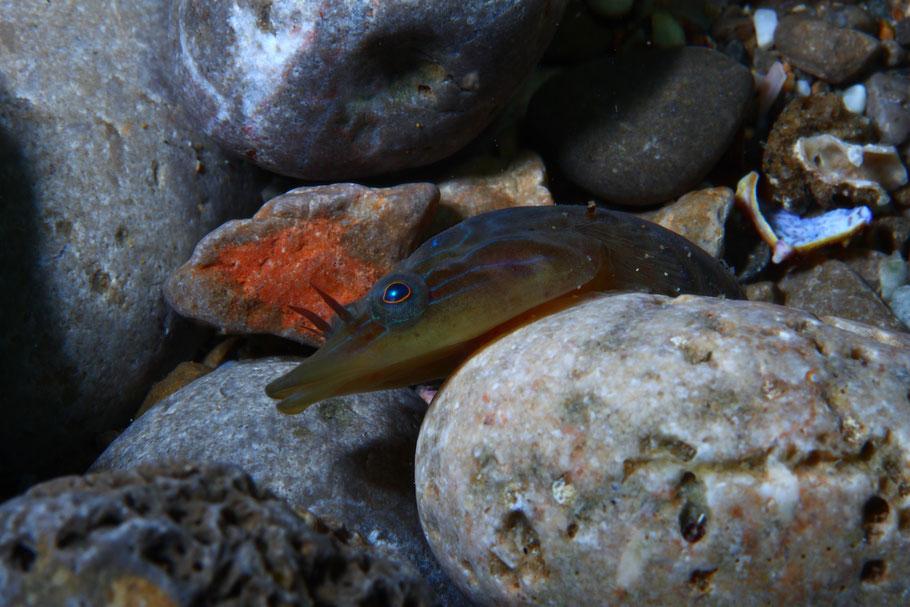 "Lepadogaster lepadogaster ""Mejor fotografía de coeficiente 3"""