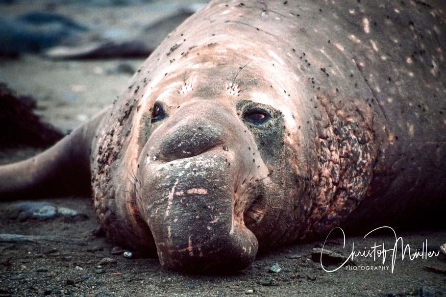 Male elephant seal resting on Islas San Benito