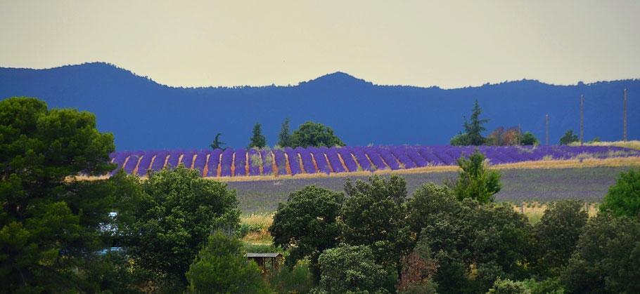 blick auf unser feld mit echtem bio lavendel in der provence
