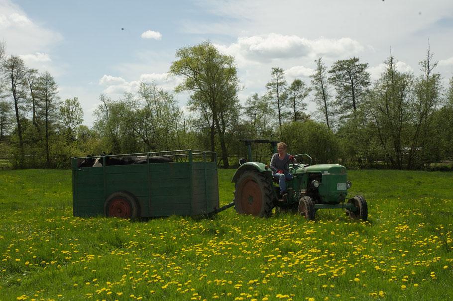 Ulrike transportiert Sultan und Blitz mit einem nachhaltig genutzten Deutz ins frische Grün