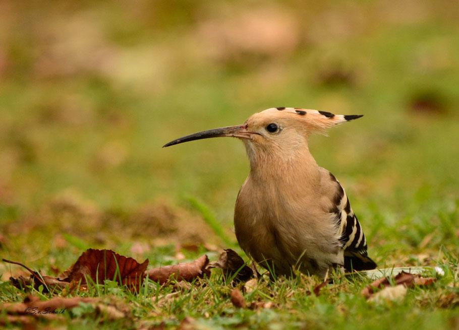 Een van de pronkstukken van het jaar. De hop. Mijn 2e waarneming in Nederland, en hoe! Op nog geen 5 meter afstand kon ik de vogel bewonderen. Prachtig!