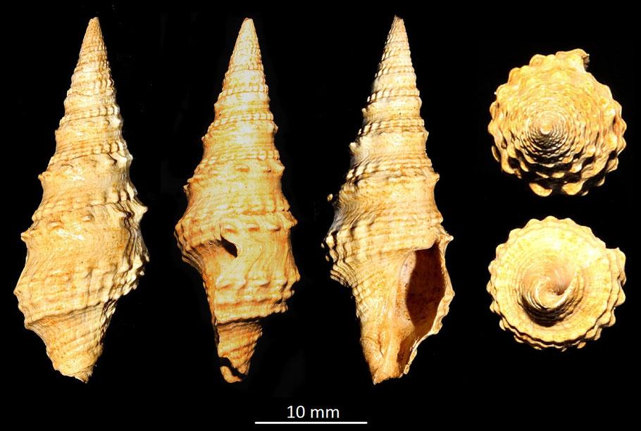 Clavatula asperulata, Miocene dell'Aquitania