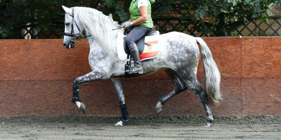 Pferd geritten in perfekter Anlehnung     -      Foto: Edith Klinken / Andalusier Hufbeschlag, Fahrsport Reiner Klinken