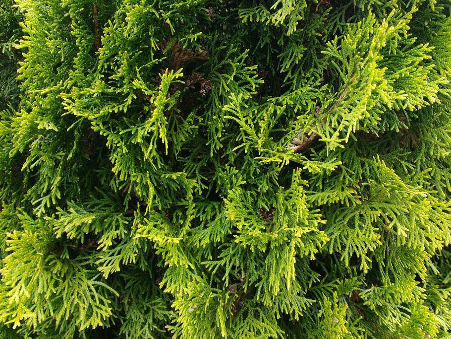 wuerzburg-hecken-pflanzen-dicht-konifere-thuja-lebensbaum-kaufen-bestellen-guenstig-abholung-baumschule-auswahl-umgebung