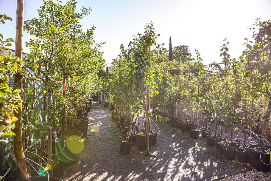 Obstbaum kaufen Baumschule in Würzburg, Unterfranken, Mainfranken, Schweinfurt