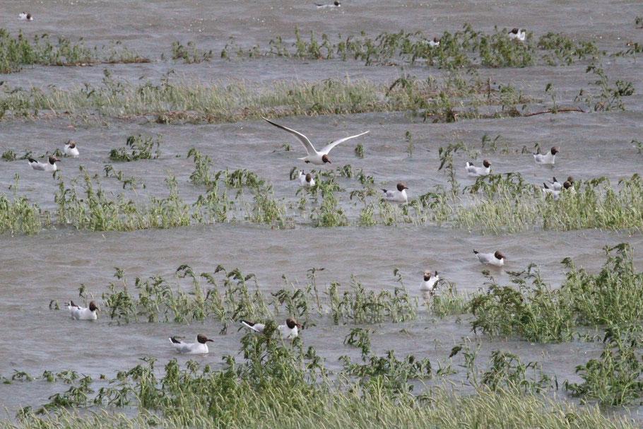 Lachmöwen auf der überfluteten Hallig Habel -  Elisabeth Heimbach©
