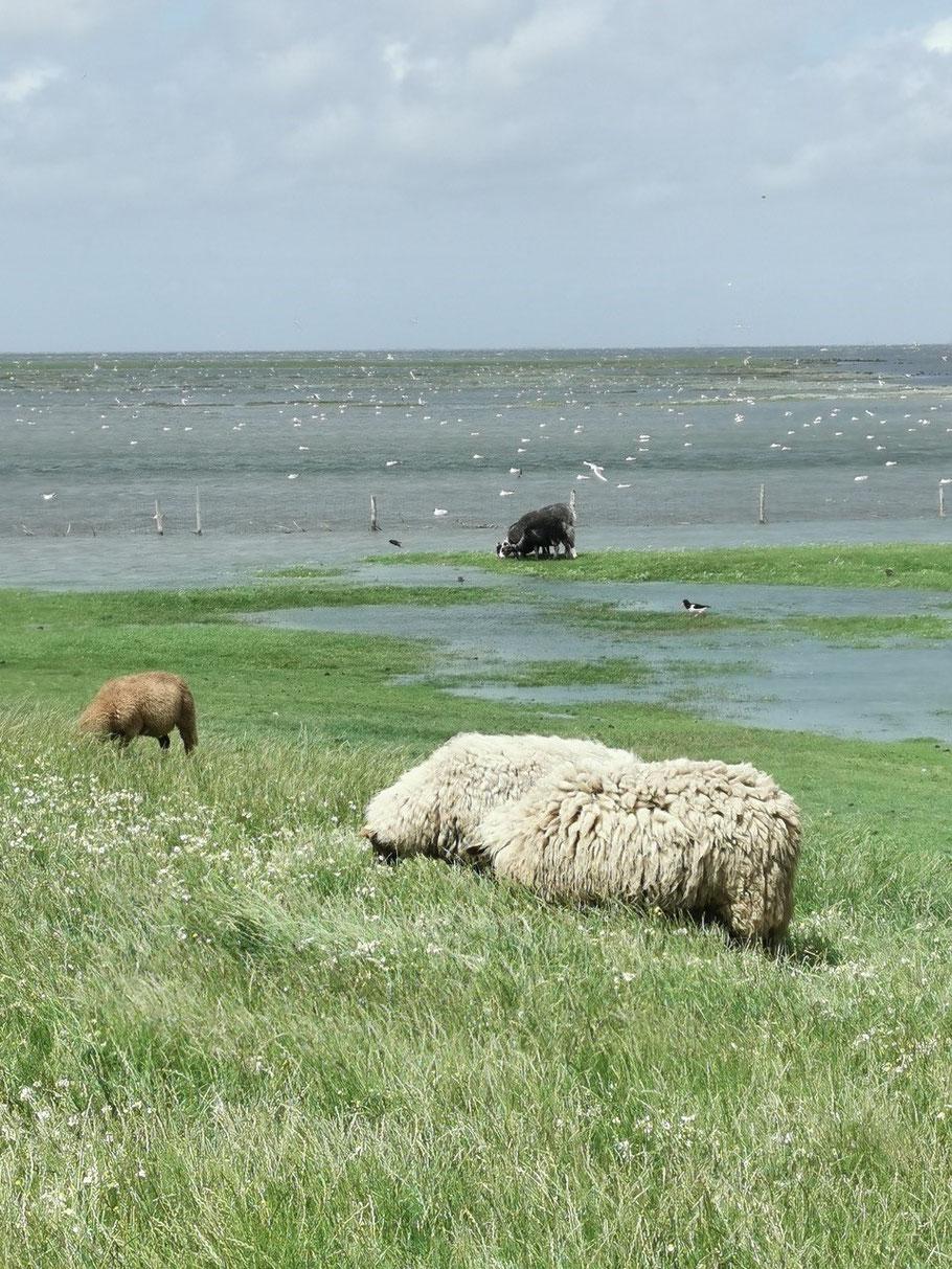 Überflutetes Brutgebiet auf Hallig Süderoog - 06.06.2020 Holger Spreer ©