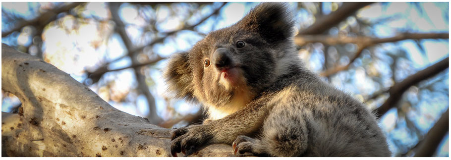 Australien, Australia, Reisebericht Australien, Reisebericht Südaustralien, Reisebericht Kangaroo Island, Koala, Admirals Arch, Seal Bay, Remarkable Rocks, Western Kangaroo Island Caravan Park,