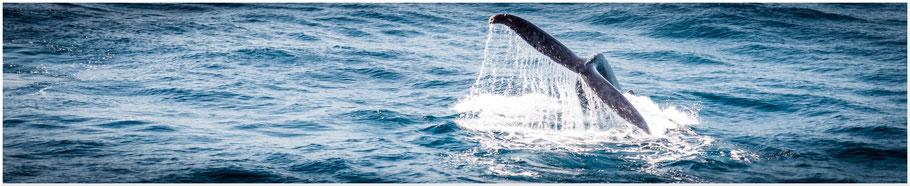 Australien, Australia, Reisebericht Australien, Reisebericht Queensland, Queensland, Brisbane, Whale Watching, Whale Watching Tour, Whale Watching Brisbane, Brisbane Whale Watching