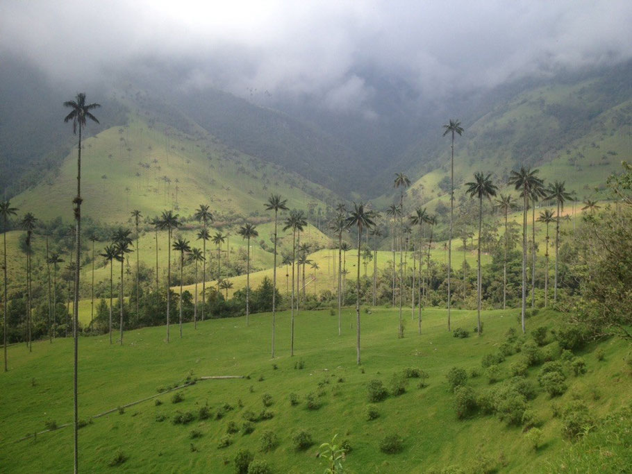 Valle de Cocora's wax palm trees