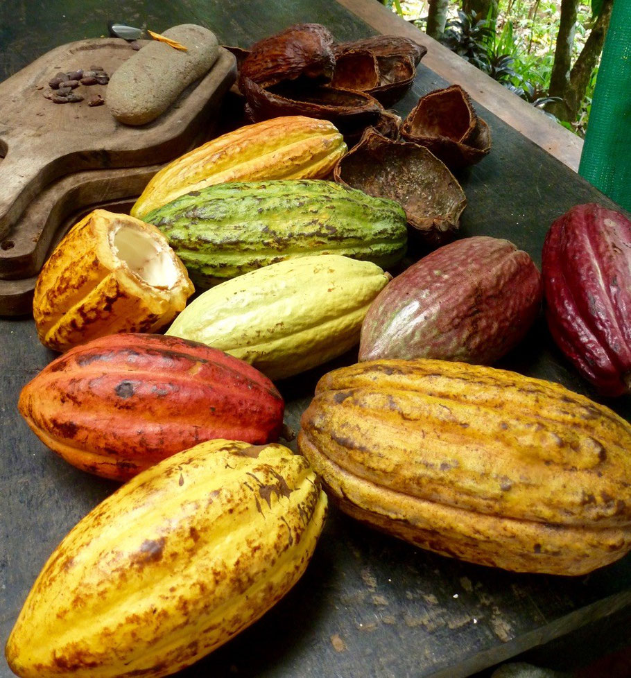 Beautifully colored cacao plants. Beans found inside them.