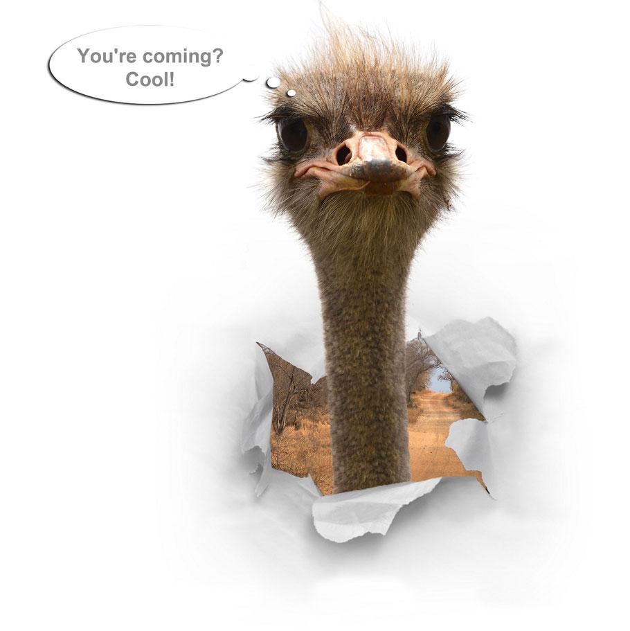 Ostrich in South Africa