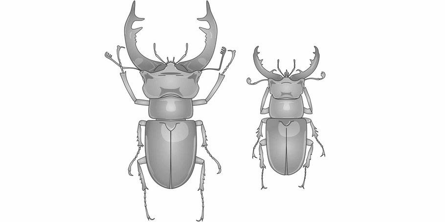 Hirschkäfer Lucanus cervus und forma capreolus