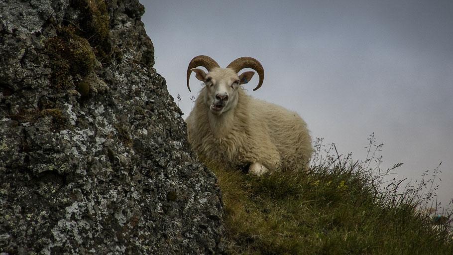Schafsbock grast am Hügel. Bild von Walter Bichler auf Pixabay.