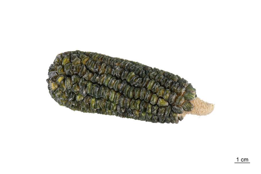 sweetcorn zuckermais saccharata zea mays maize corn mais landsorte landsorten historische sorten kulturgut saatgut züchtung erhaltung
