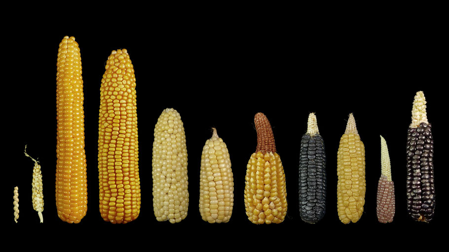 v.l.: Teosinte, Teosinte X Mais, Badischer Landmais, Hybridmais. Blanc de Bresse, Wachsmais, Schafzahnmais, Black Aztec, Geneva, Pink Pop, Taos Blue
