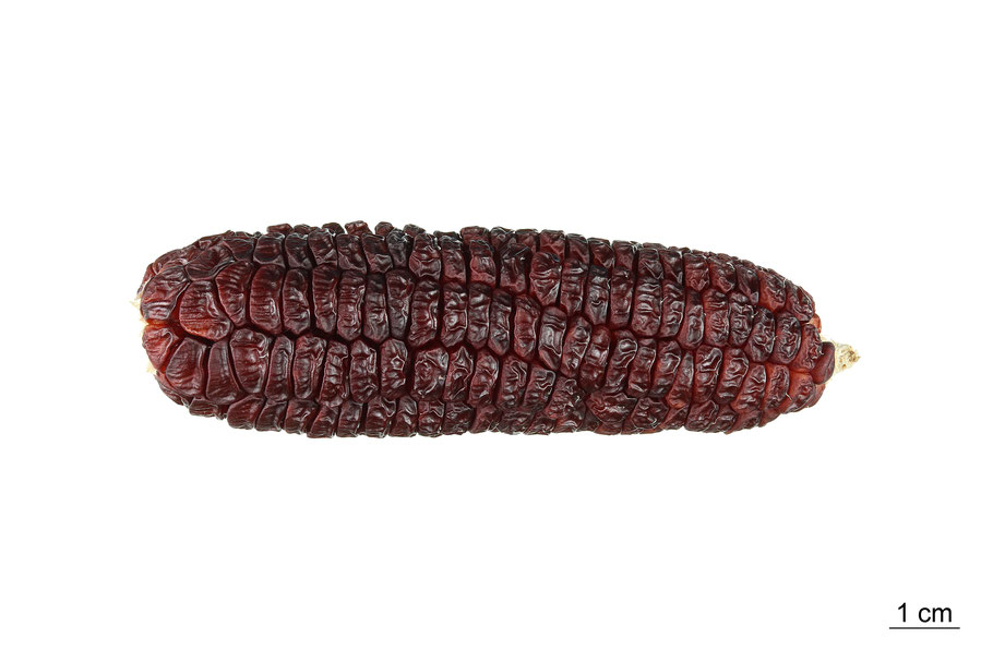 zea mays saccharata maize corn red midget zuckermais mais sweetcorn landsorte landsorten historische sorten kulturgut saatgut züchtung erhaltung