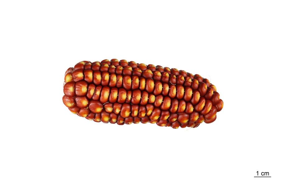 zea mays indentata maize corn zahnmais dar polnocy ipk gatersleben mais landsorte landsorten historische sorten kulturgut saatgut züchtung erhaltung