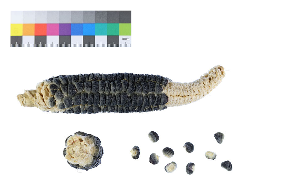 Black Sugar Zuckermais sweet corn seed Saatgut Landsorte Landsorten IPK Gatersleben Benjamin Simon maize alte Sorten Landmais