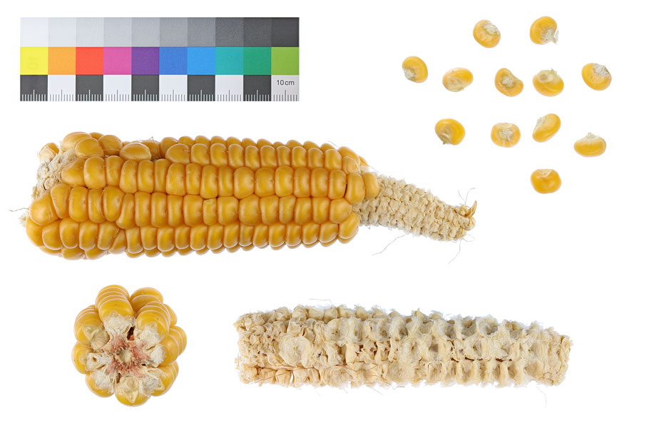 Chiemgauer IPK Gatersleben zea mays indurata Hartmais Landsorte Landsorten historische Sorten Saatgut maize corn Benjamin Simon alte Sorten Landmais