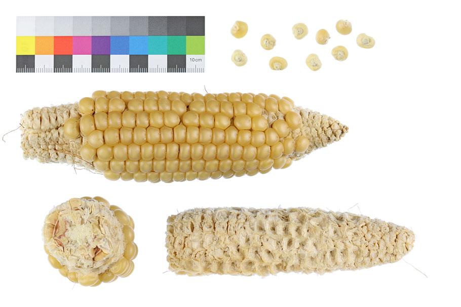 Reinthaler Hartmais zea mays indurata IPK Gatersleben Rheintaler Landsorte Landsorten IPK Gatersleben Benjamin Simon Mais Saatgut maize flint corn historische Sorten Landmais