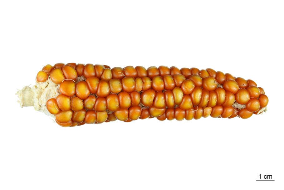 zea mays indurata flint corn hartmais abruzzen mais maize landsorte landsorten historische sorten kulturgut saatgut züchtung erhaltung