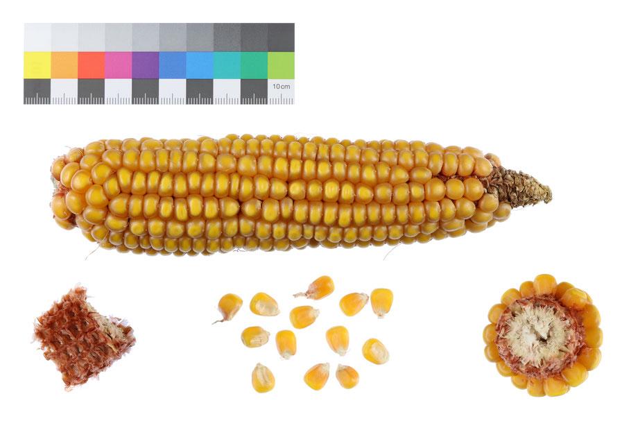 Österreichischer Burgenländer Silozahnmais Zahnmais dent corn IPK Gatersleben ZEA256 Landsorte Landsorten Mais maize corn alte Sorten Landmais