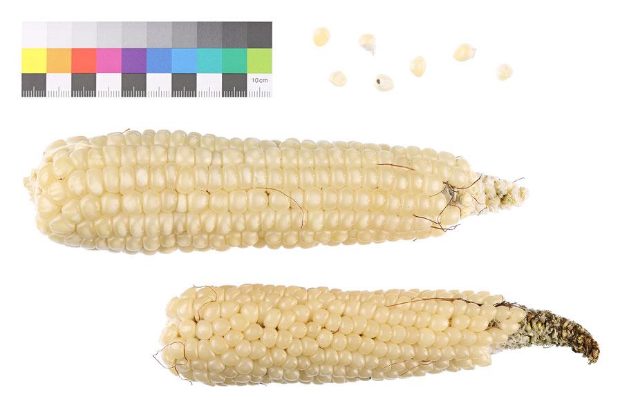 Weichmais Stärkemais flour corn amylacea historische Landsorte alte Sorte Saatgut Mais maize IPK Gatersleben Benjamin Simon Samen
