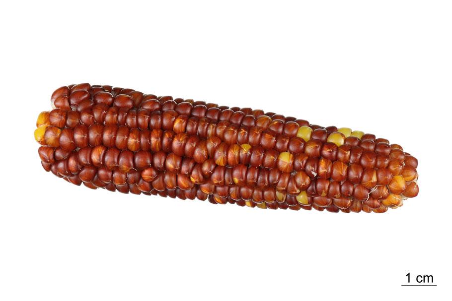 popcorn everta zea mays everta puffmais debrecener maize corn mais landsorte landsorten historische sorten kulturgut saatgut züchtung erhaltung