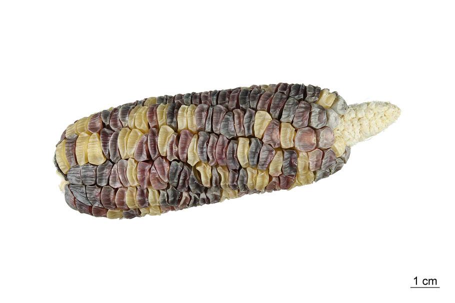 zea mays saccharata sweetcorn maize corn zuckermais inca rainbow landsorte landsorten historische sorten kulturgut saatgut züchtung erhaltung