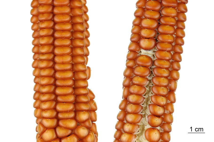 zea mays indurata flint corn maize hartmais tiroler gebirgsmais ipk gatersleben landsorte landsorten historische sorten kulturgut saatgut züchtung erhaltung