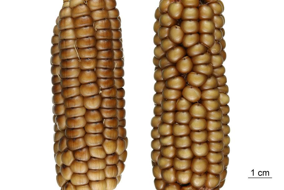 zea mays indurata flint corn maize hartmais bronze beauty mais landsorte landsorten historische sorten kulturgut saatgut züchtung erhaltung