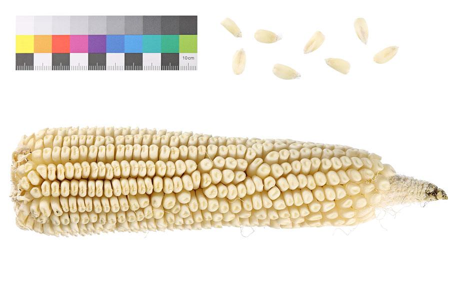 Bijeli Kukuruz Zahnmais dent corn indentata zea mays alte landsorte historische Sorte Saatgut Samen IPK Gatersleben Benjamin Simon Mais