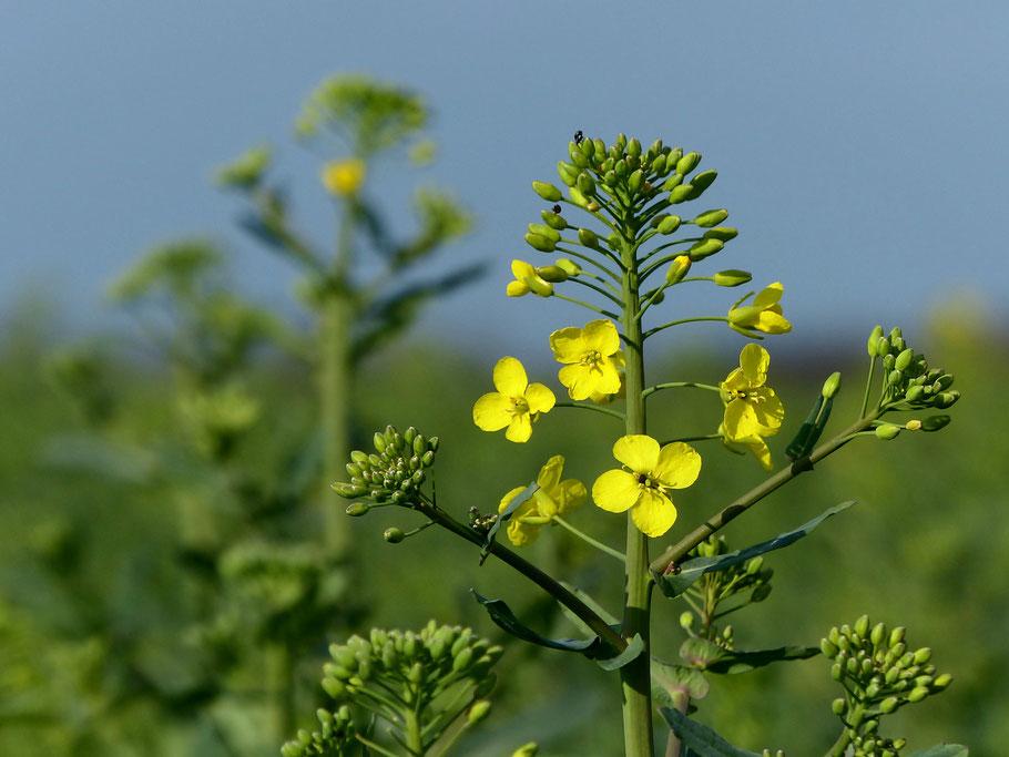 Brassica napus - Winterraps