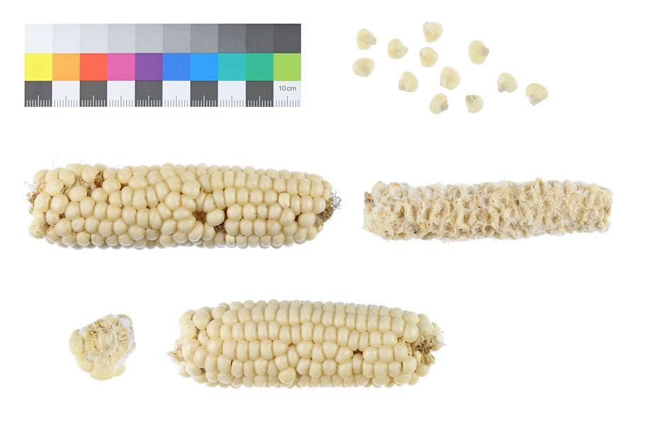 Saskatchewan White Flint zea mays indurata Hartmais IPK Gatersleben Landsorte Landsorten maize corn alte Sorten Landmais